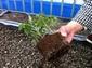 トマト育苗種